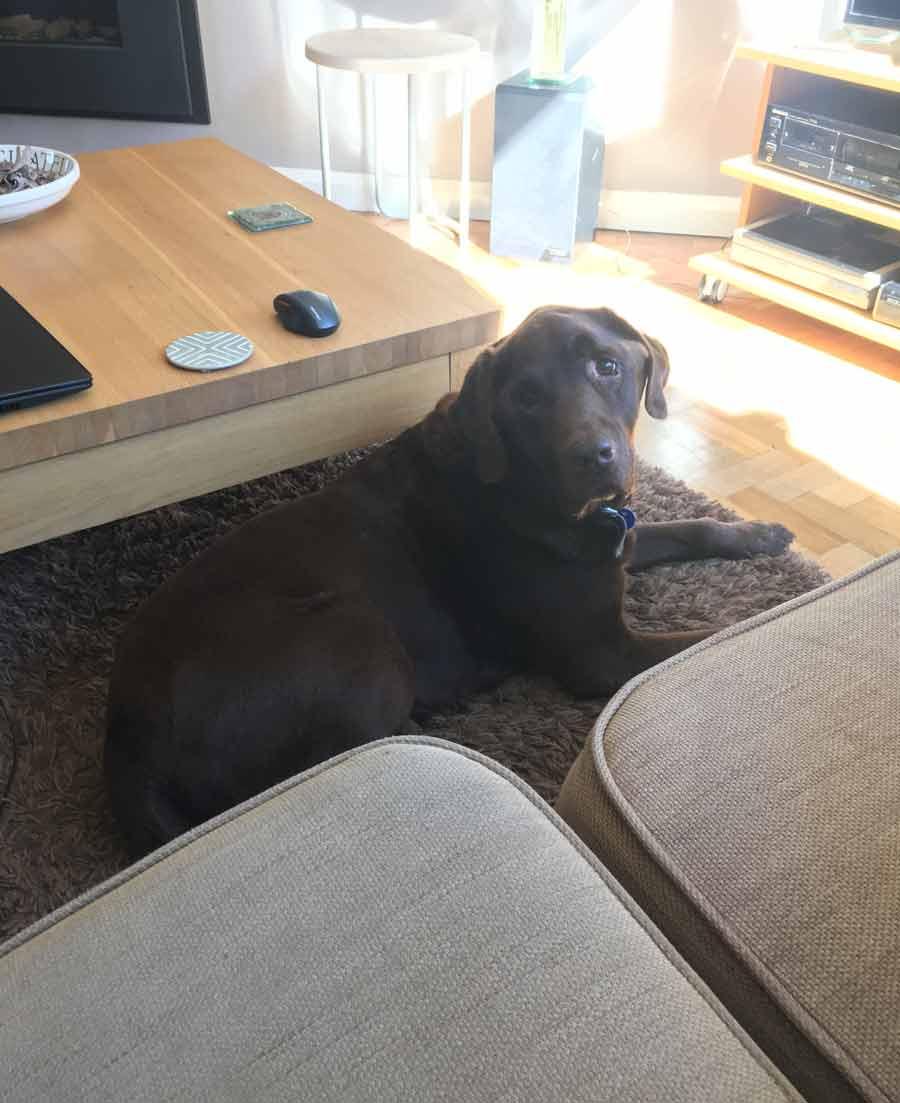 Lucky the Chocolate Labrador Retriever