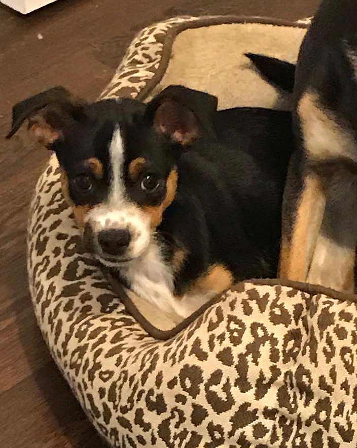 Piper the Terrier, Chihuahua Mix
