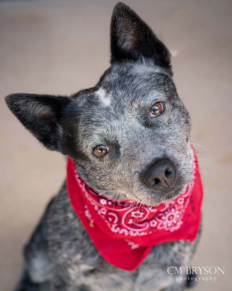 Chubb the Australian Cattle Dog
