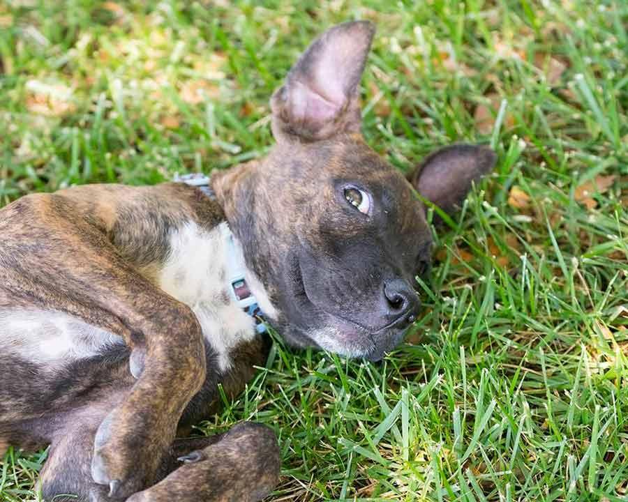 Oscar the Labrador, Boxer Mix