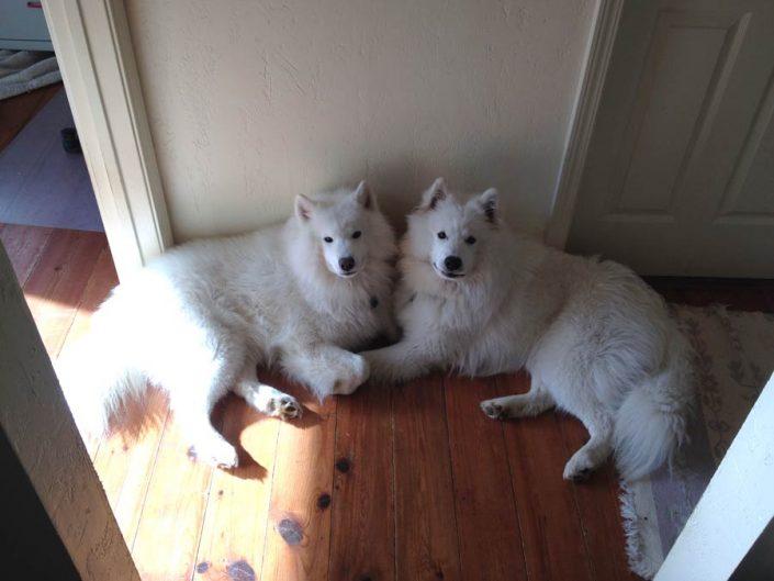 Nikko and Smoke the American Eskimo Dogs