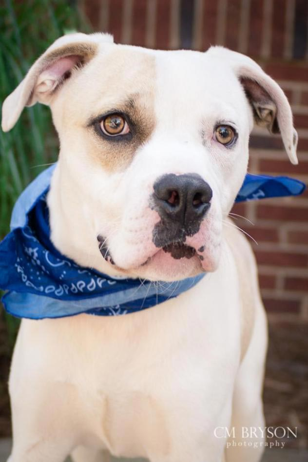 Wallaby The American Bulldog Mix