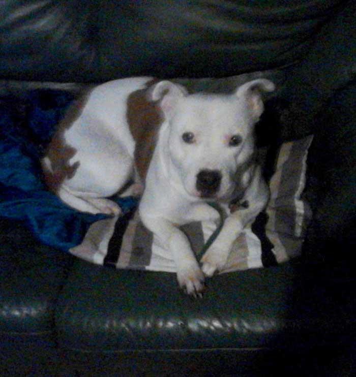 Jessie the Staffordshire Terrier
