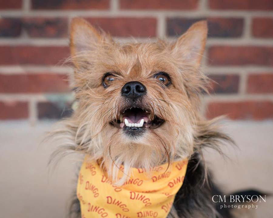Mork the Yorkie Mix