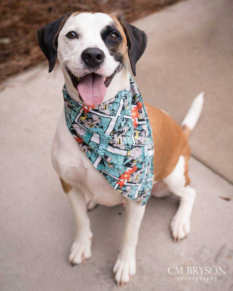 Bane the Hound, Boxer Mix