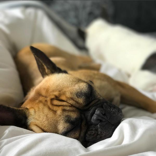 Buddy French Bulldog