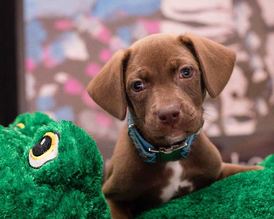 Moose the Chocolate Labrador Retriever Mix