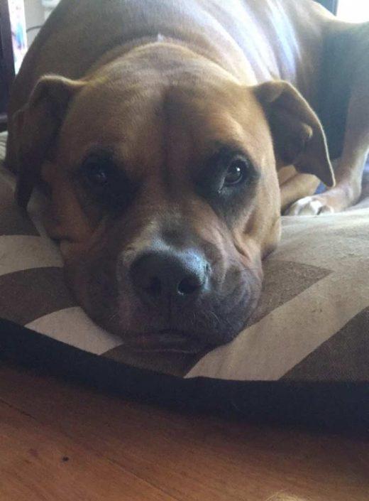 Oz the Boxer, Terrier Mix