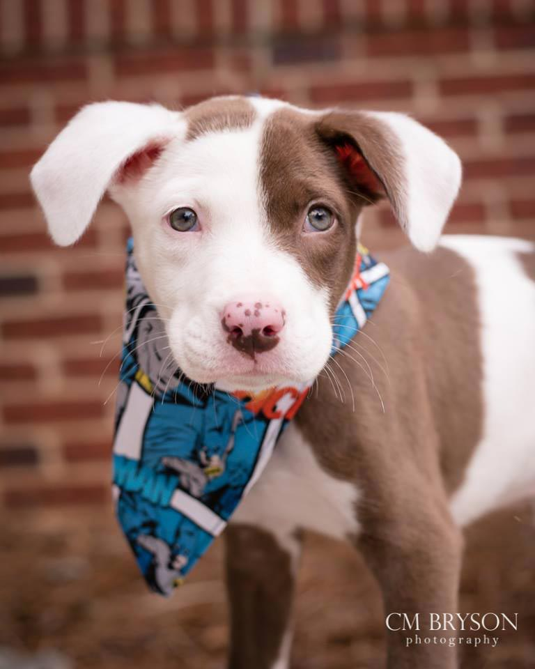 Penguin the American Bulldog Mix