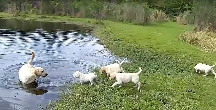 Labrador Dad Teaches His Puppies How To Swim