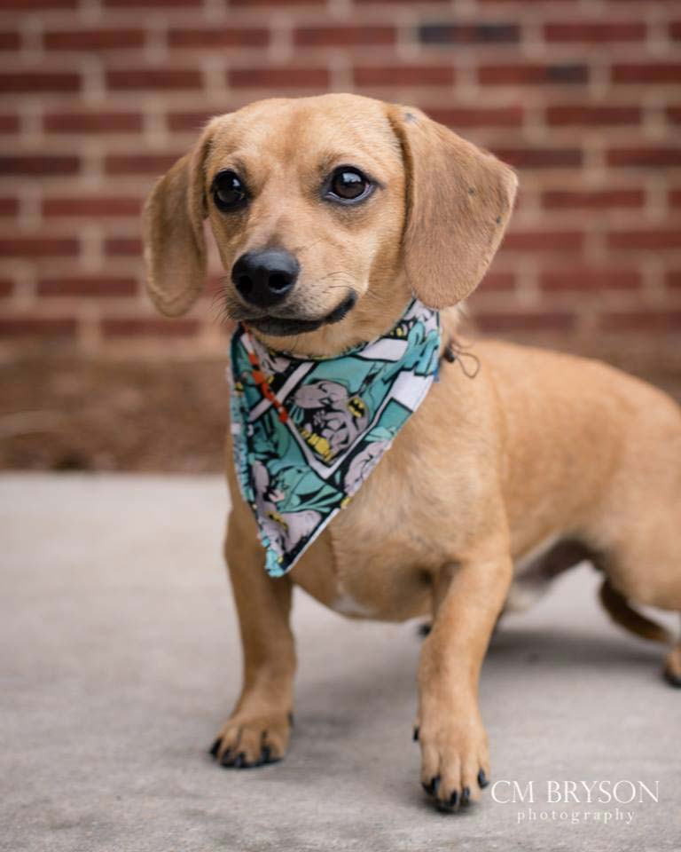 Robin the Dachshund Mix