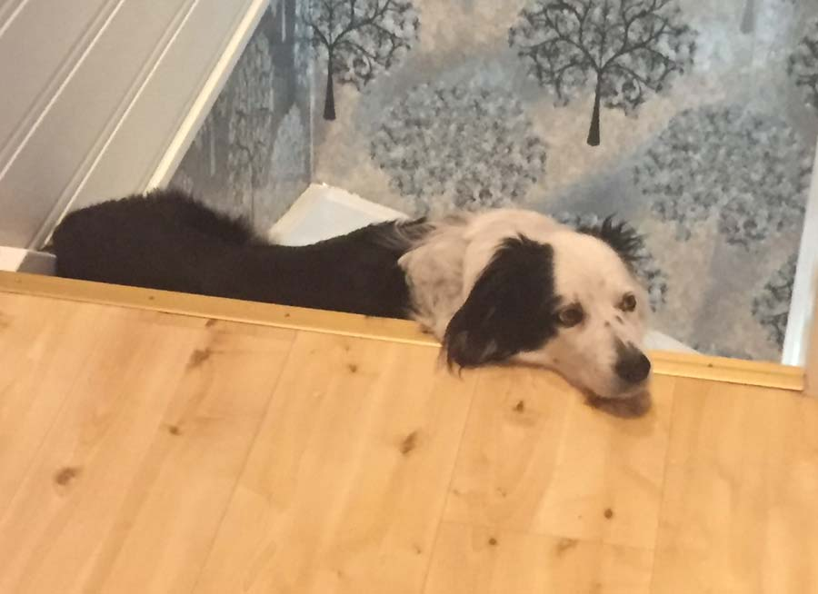 Shakira the Border Collie