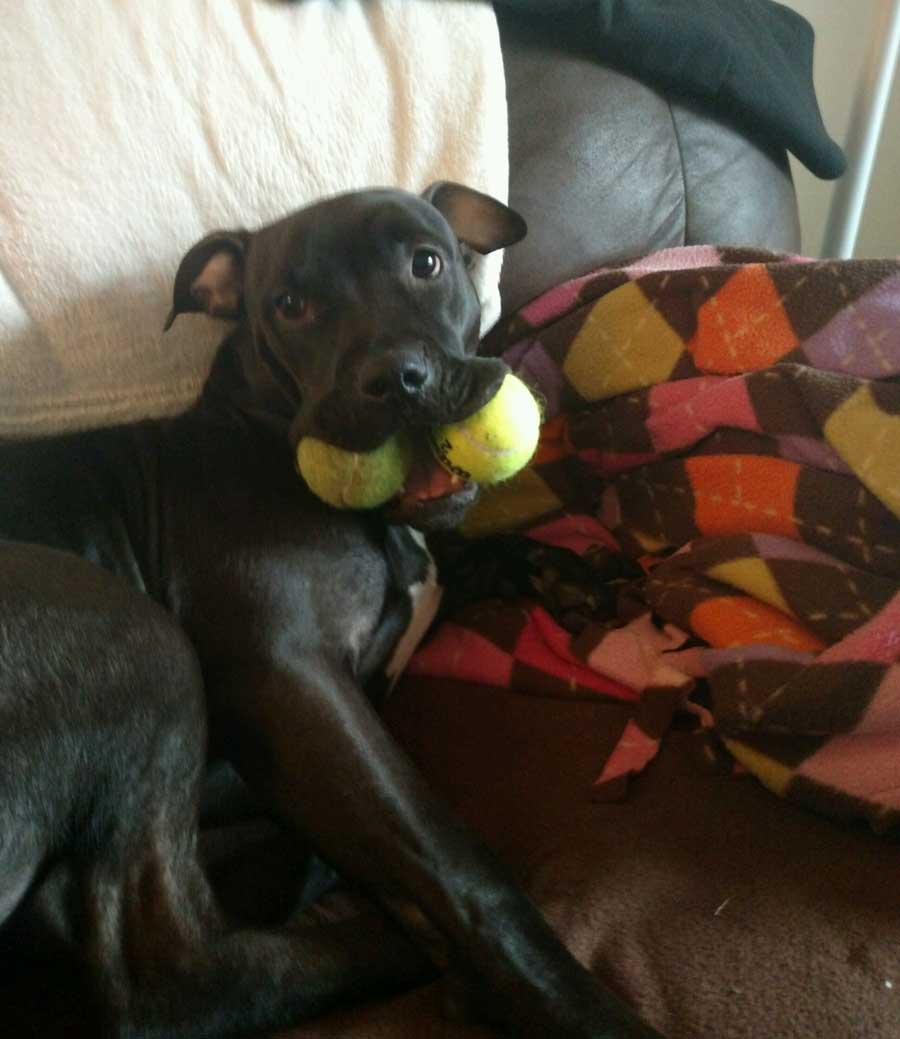 Walt the American Staffordshire Terrier, Labrador Mix