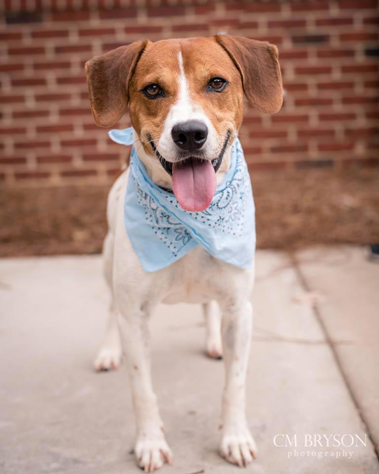 Boomer the Beagle Mix