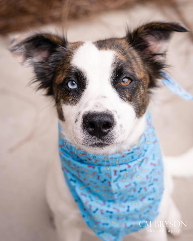 Cirrus the Australian Shepherd Mix