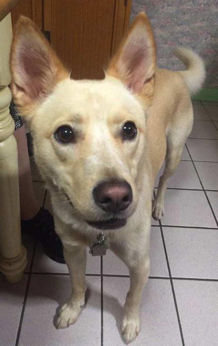 Cody the Husky, Golden Carolina Labrador Mix