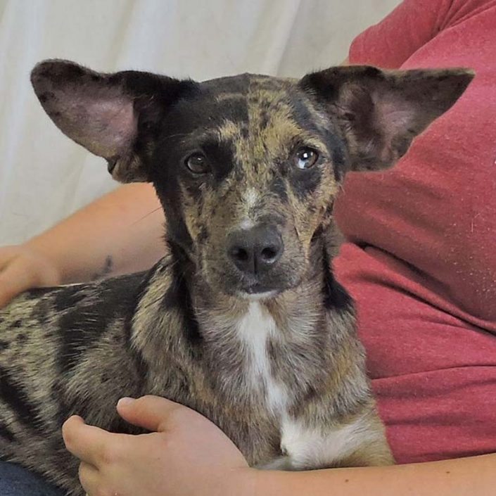Loretta the Catahoula Leopard Dog Mix
