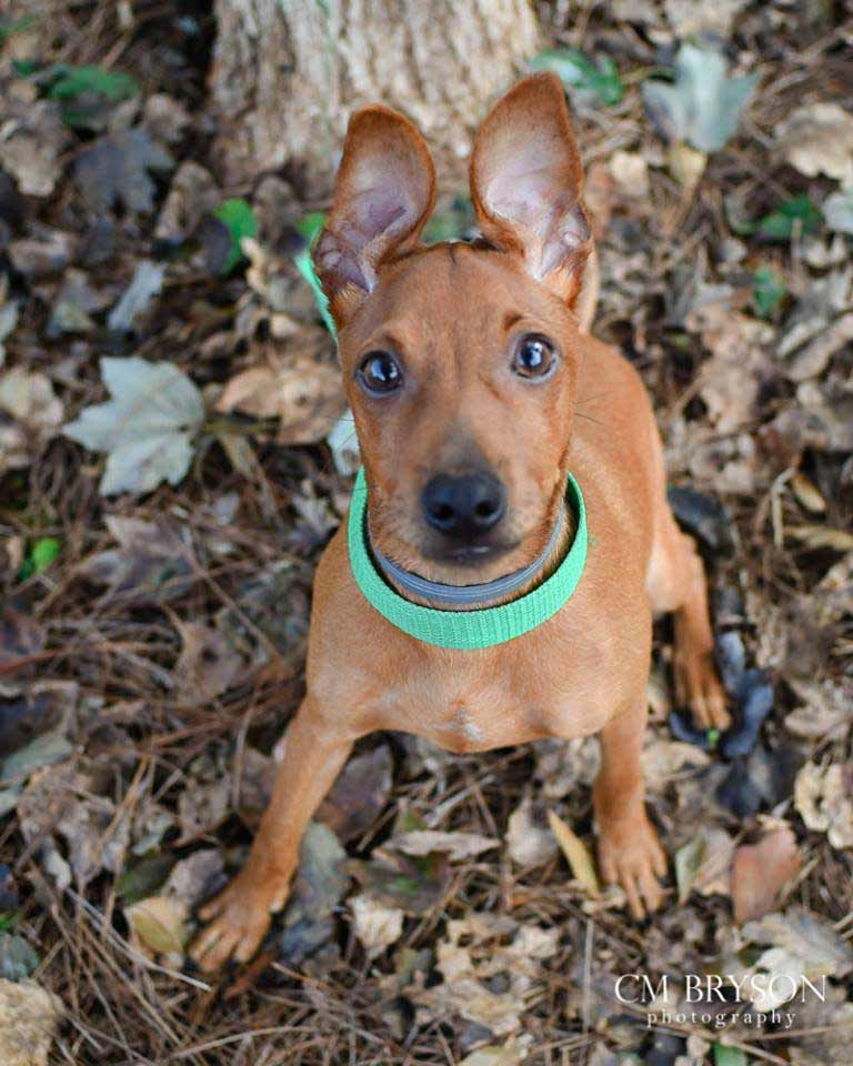 Morrison the Miniature Pinscher