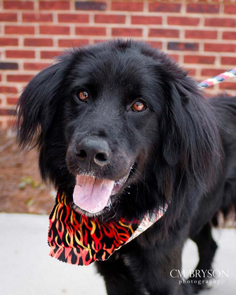 Zepplin the Flat Coat Retriever Mix