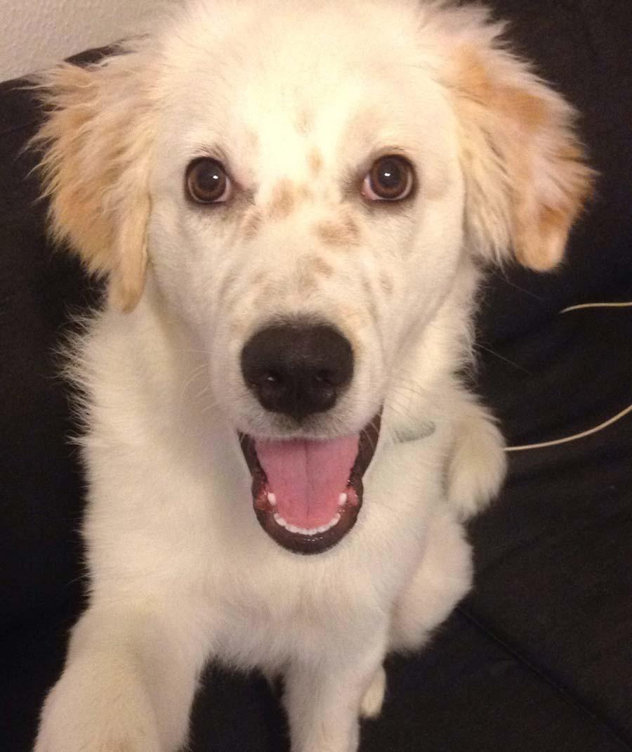 Milo the Maremmano Sheepdog