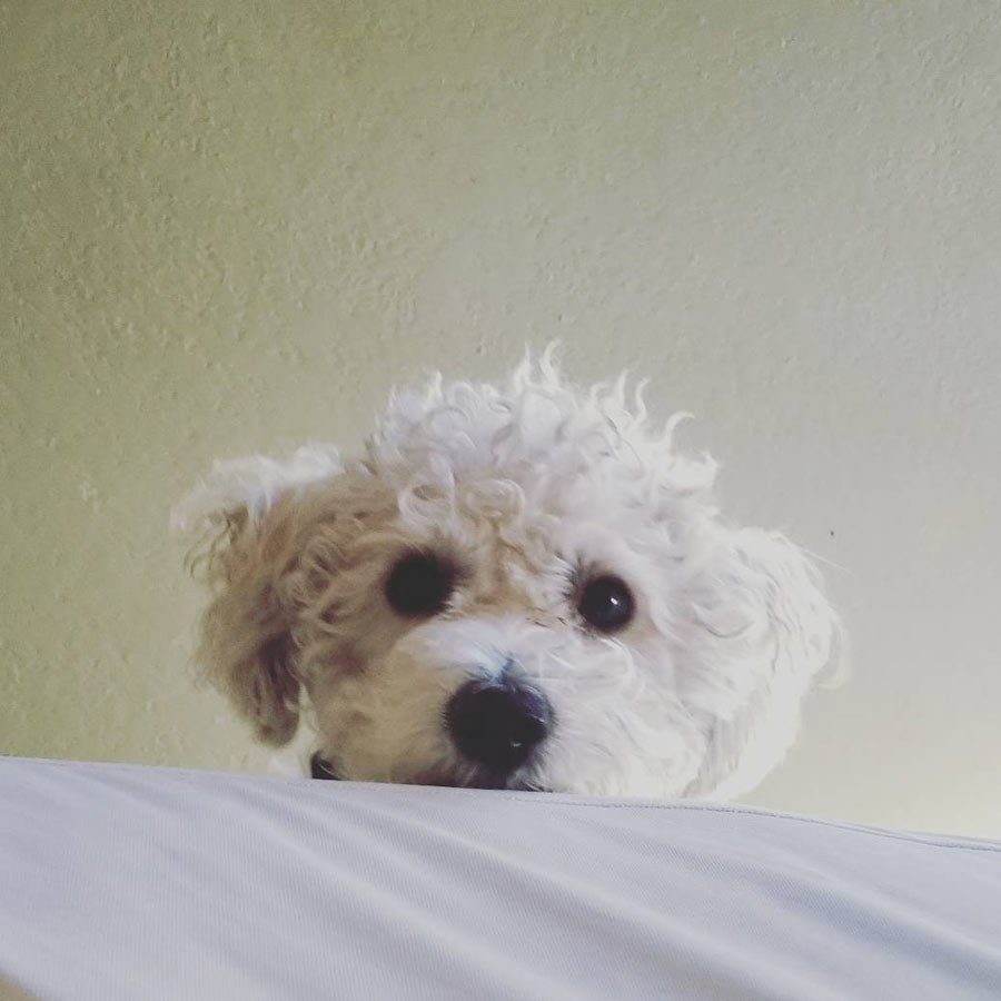 Daisy the Maltipoo