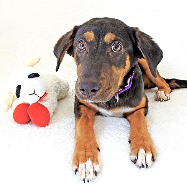 Mahina the Coonhound Mix