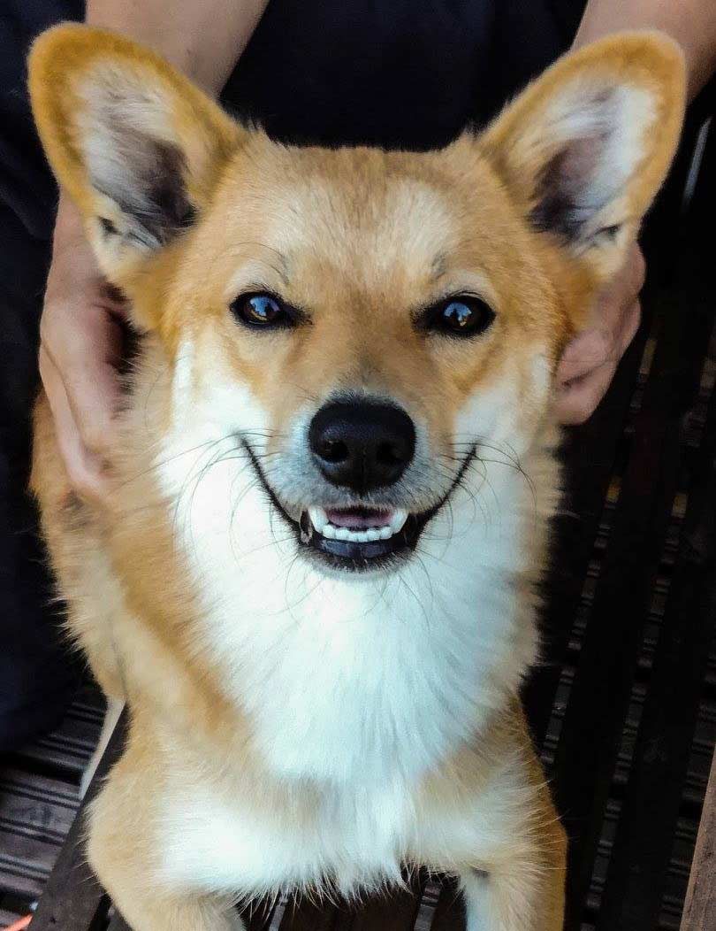 Nella the Finnish Spitz and German Shepherd Mix