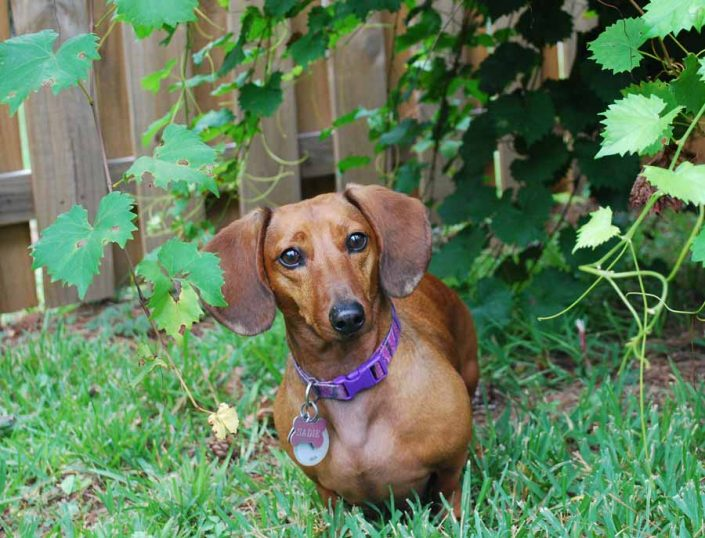 Sadie the Dachshund
