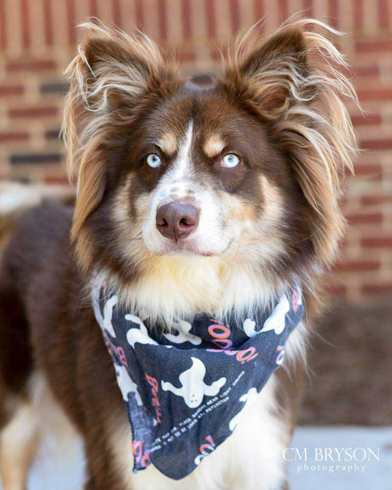 Fox the Australian Shepherd