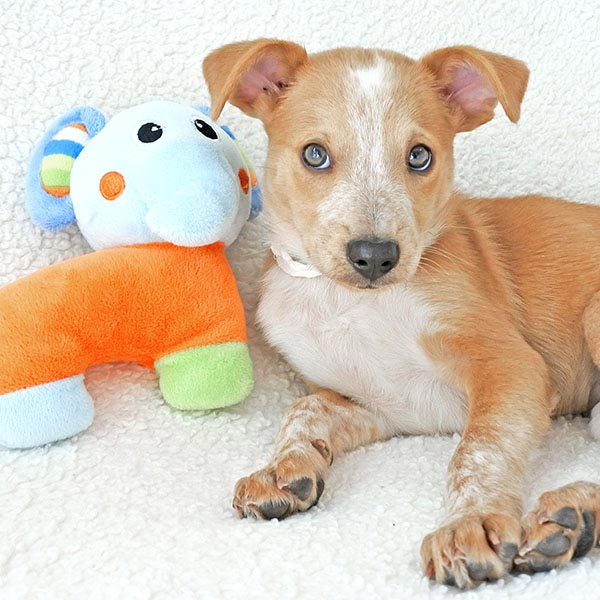 Arnold the Australian Cattle Dog Mix