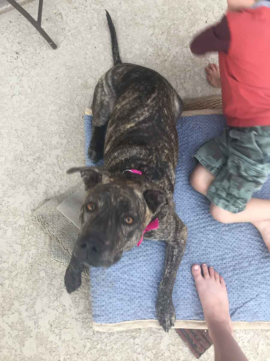Mater the American Staffordshire Terrier Mix