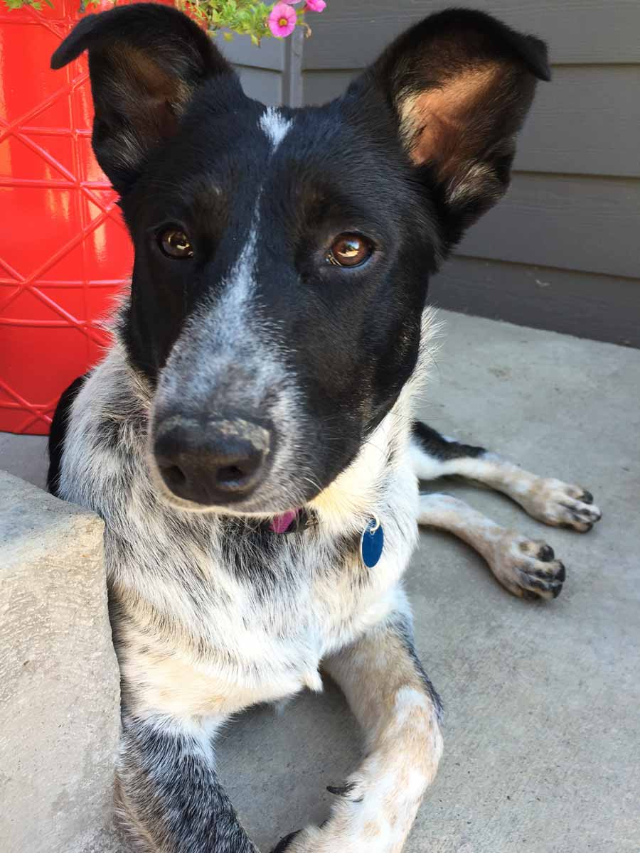 Sneffels the Australian Cattle Dog Mix