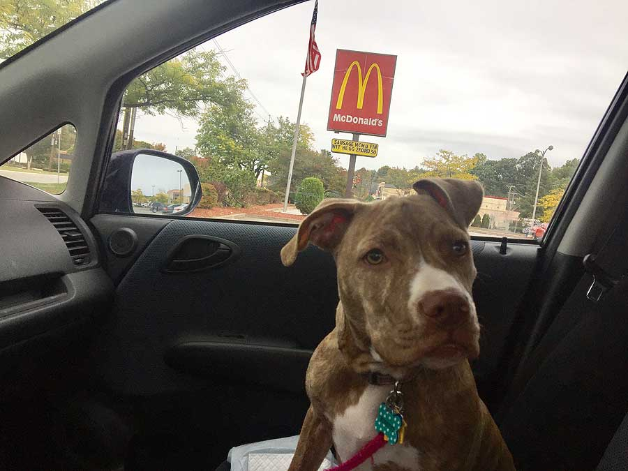 Biscuit the American Staffordshire Terrier Mix