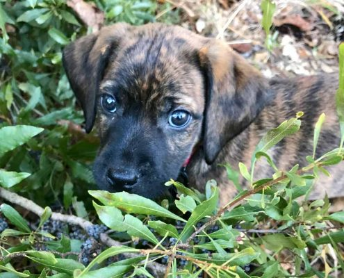 Chase the Catahoula Cur