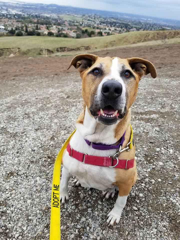 Faith the Australian Cattle Dog, Terrier Mix