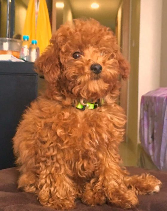 Vonny the Toy Poodle