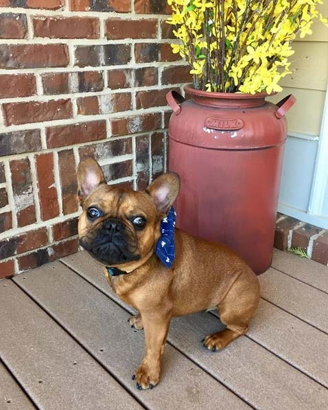 Dunkin the French Bulldog
