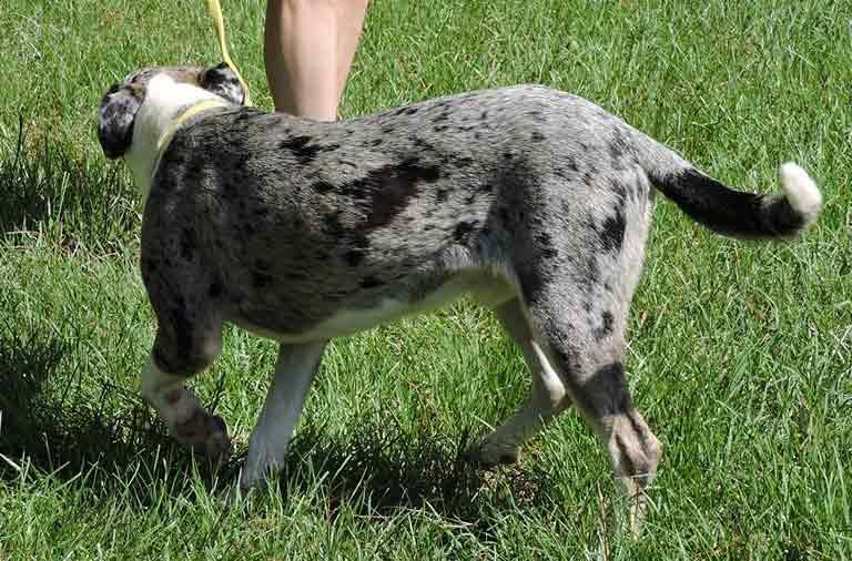 Jack the Catahoula Leopard Dog