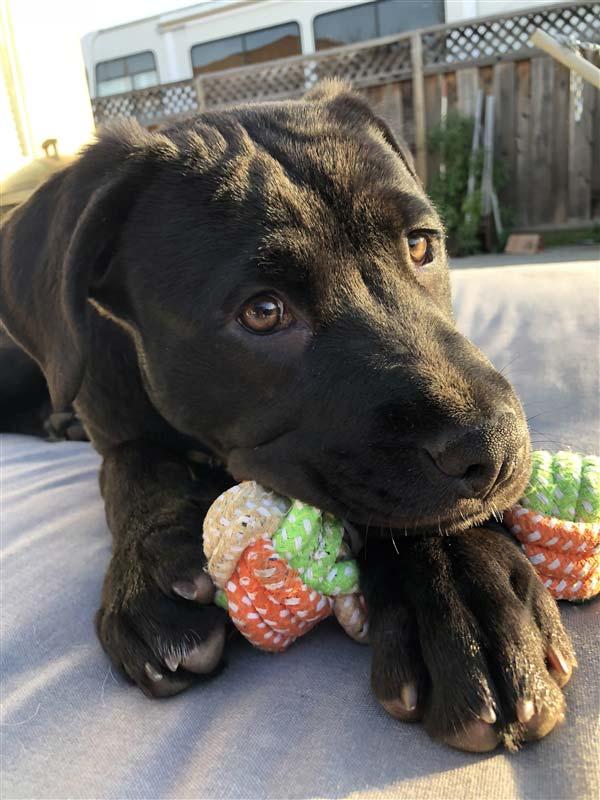 Louise the Cane Corso, Terrier Mix