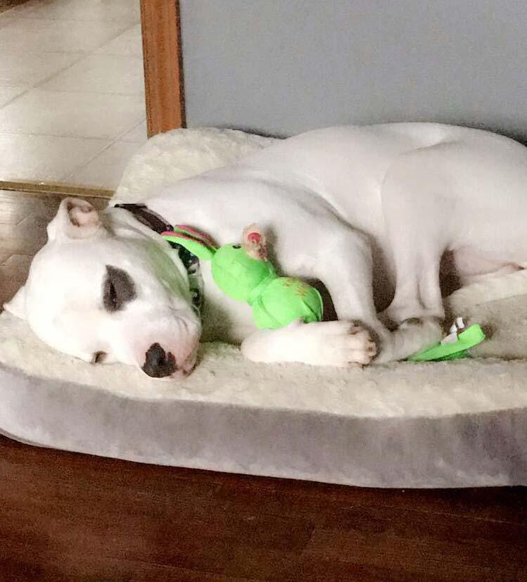 Sadie the Boxer, Terrier Mix