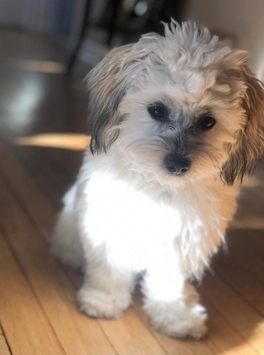 Bailey the Shih Tzu, Bichon Mix