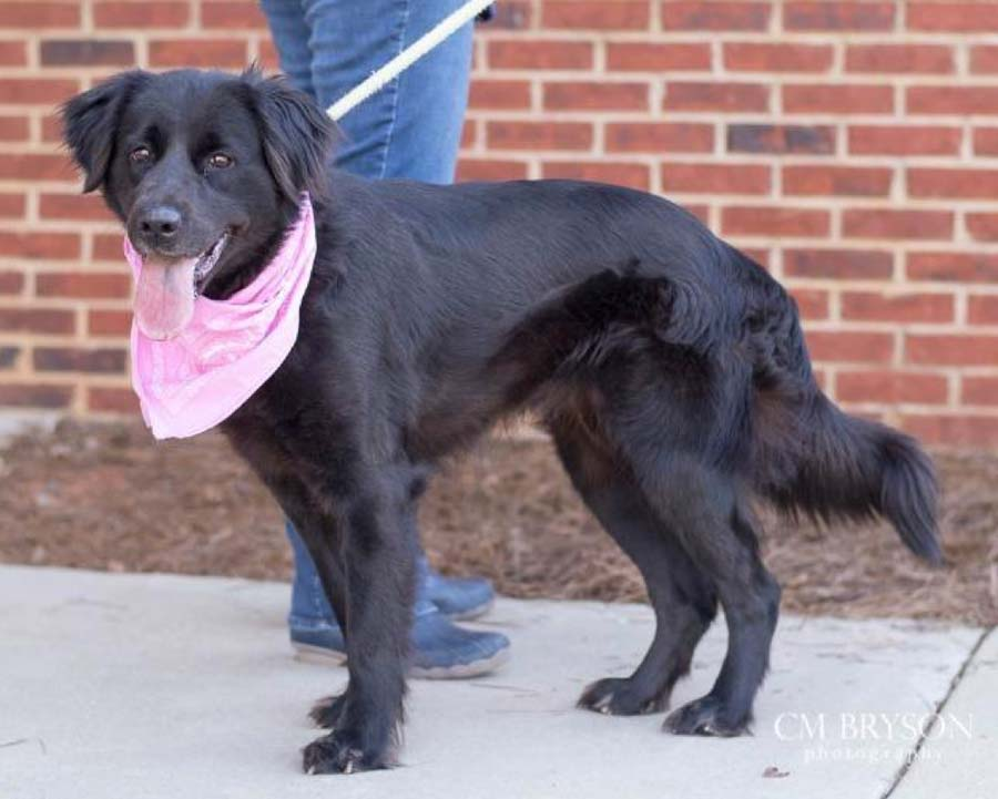 Alpine the Flat-Coated Retriever Mix
