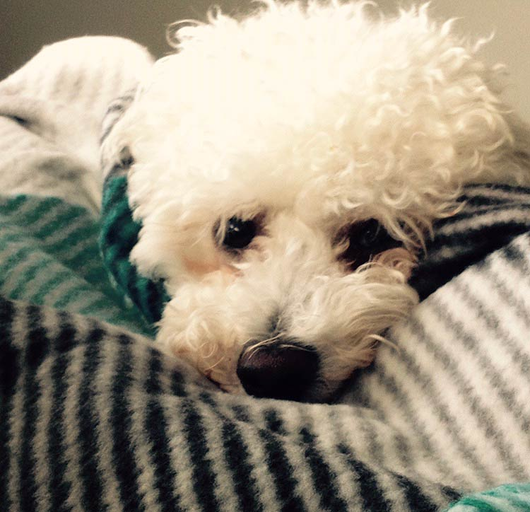 Duke the Bichon Frise