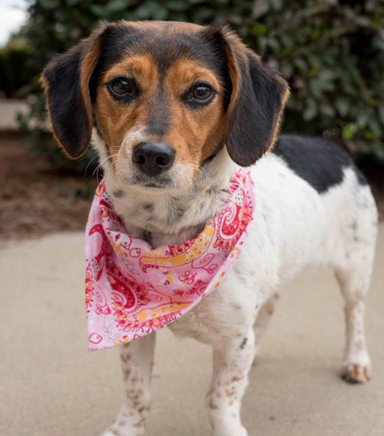Prim the Beagle, Terrier Mix