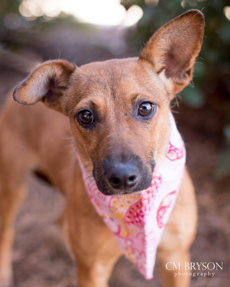 Ski the Jack Russell Terrier Mix