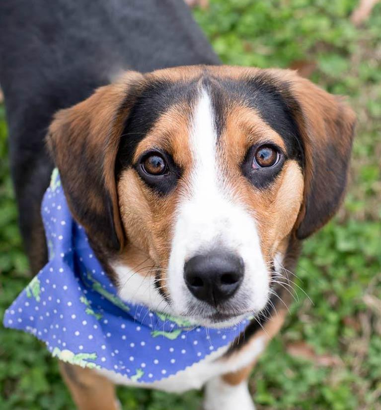 Yahoo The Beagle Blue Heeler Mix