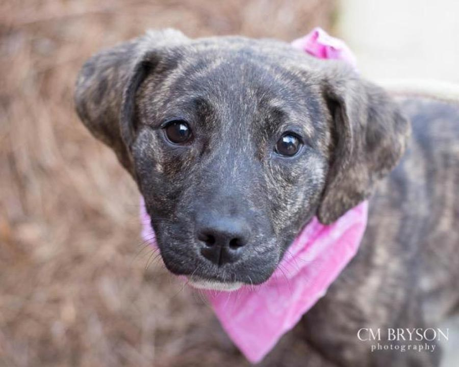 Ladybeetle the Catahoula Leopard Dog