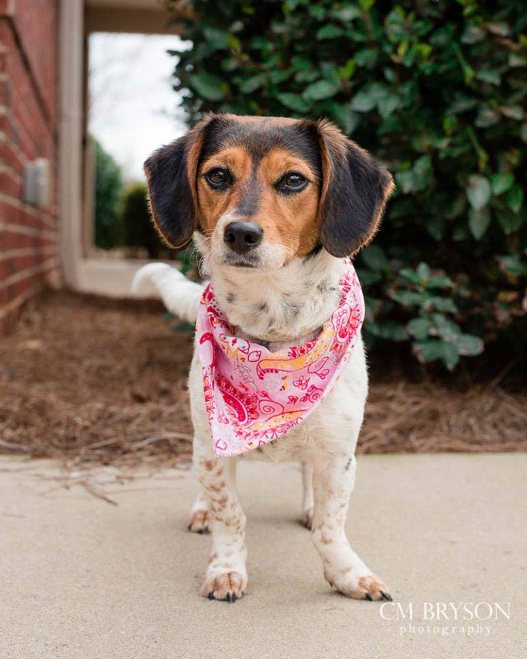 Prim the Beagle, Terrier Mix
