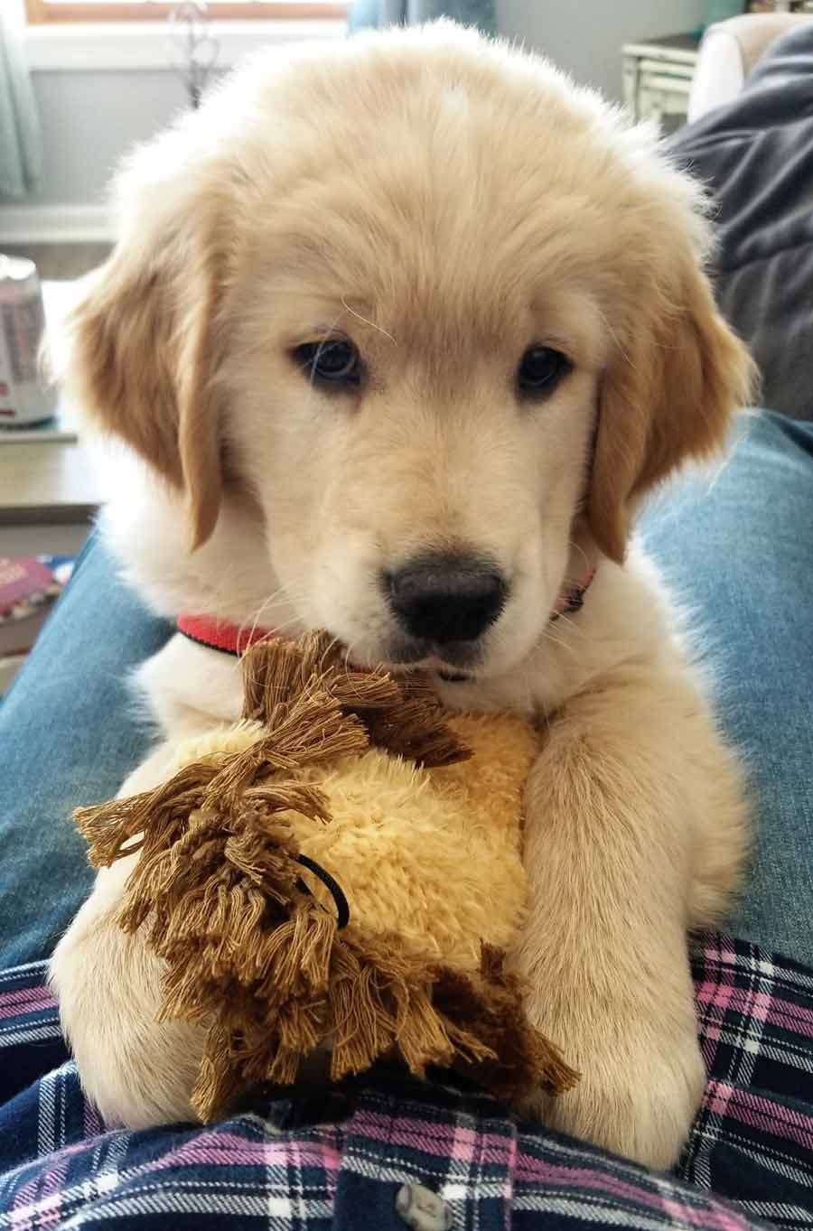 Tucker the Golden Retriever