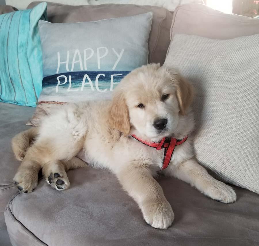 Tucker the Golden Retriever